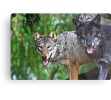 Pack of Timber Wolves ........ Metal Print
