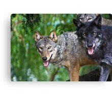 Pack of Timber Wolves ........ Canvas Print