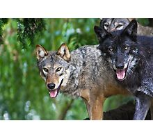 Pack of Timber Wolves ........ Photographic Print