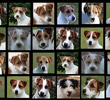 Jack Russell Terriers - Many Faces by Emma Hardcastle