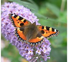 Red Admiral Butterfly Photographic Print