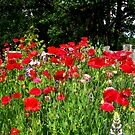 Red Poppies at the Fence by Chuck Gardner