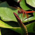 Male flame skimmer (dragonfly) by Gili Orr
