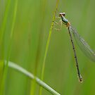 Green Emerald Damselfly by Taka