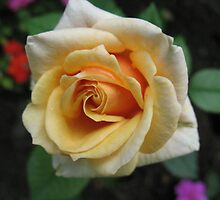 Full frontal Peach Rose by MarianBendeth