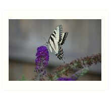 tiger striped swallowtail butterfly Art Print