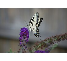 tiger striped swallowtail butterfly Photographic Print