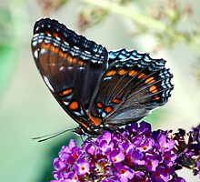 red spotted butterfly by paul gavin