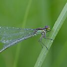 Red-eyed Damselfly by Taka