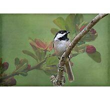 Chickadee amid the blossoms Photographic Print