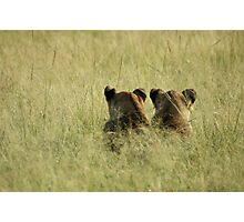 Uganda - lions peering at the grass Photographic Print