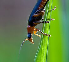 Soldier Beetle by Colin Shanley