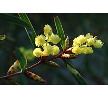 Wattle Photographic Print