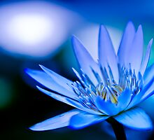 Blue Lilly  by Jose O. Mediavilla