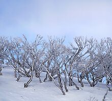 Snow Gums by Rick Box