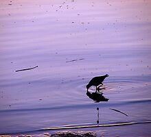 Purple Oystercatcher Sunset by Martice