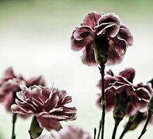 Carnations by Jose O. Mediavilla