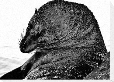Australian Fur Seal B&W by salsbells69