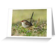 Superb Fairy -wren  IIII Marlo Australia  Greeting Card