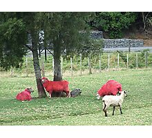Who is the odd one out, Dome Valley, New Zealand. Photographic Print