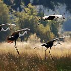 Wattled Cranes - Okavango Delta, Botswana. by Sharon Bishop