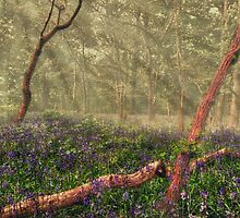 Sunlight in a Bluebell Wood by Nigel Bangert