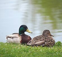 Mallard Amour by WalnutHill