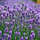 Lavender explosion by IanJohnston