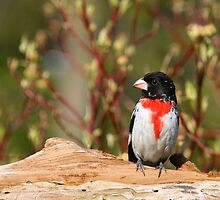 Rose-breasted Grosbeak (male) by Renee Dawson