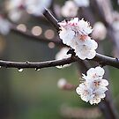 blossoms and dew drops by Maryanne Lawrence