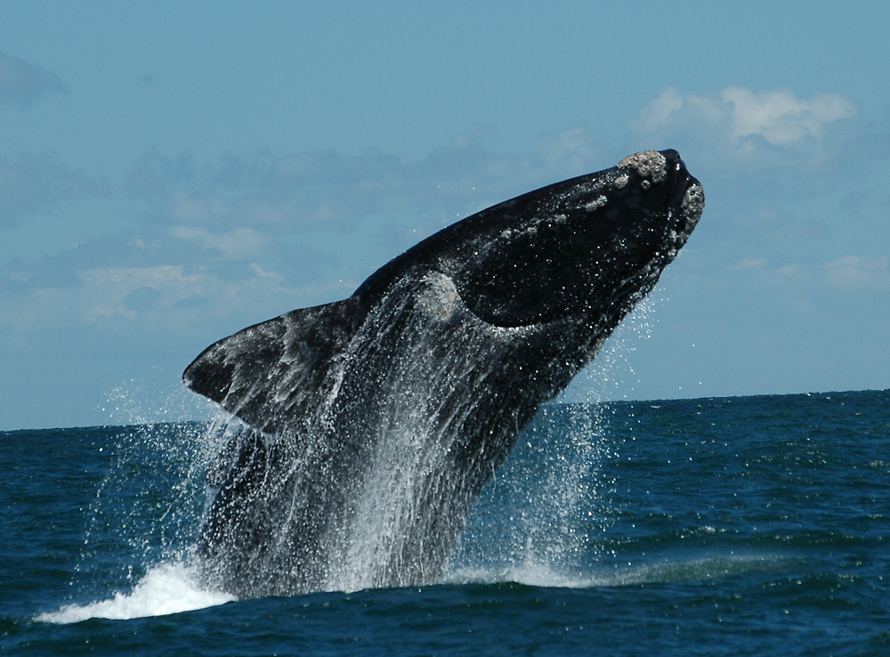 Right whale in  Argentina by Marieseyes