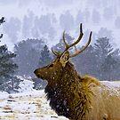 Elk Bull in Winter by Albert Crawford