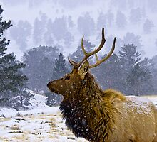 Elk Bull in Winter by Albert Crawford