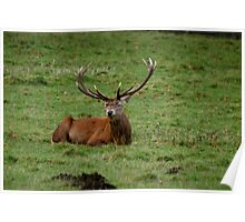 Deer at Studley Royal Poster