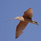Long-billed Curlew by tomryan