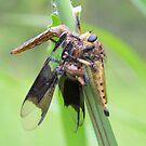 Robber Fly Having Lunch by ©Dawne M. Dunton