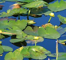 Everglades Lily Pads by Virginia N. Fred