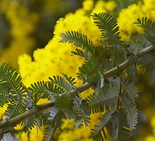 Wattle I Shoot Next? by David McMahon