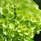 Lovely Lime by lorilee