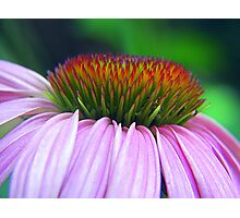 Coneflower Crown Photographic Print