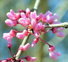 Pink Redbuds by ©Dawne M. Dunton