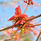 The Red Maple Comes To Life by ©Dawne M. Dunton