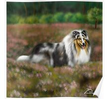 Rough Collie Blue Merle  Poster