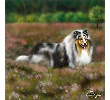 Rough Collie Blue Merle  Photographic Print