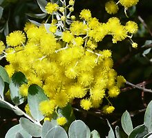 Wattle blossoms by Sandra Chung