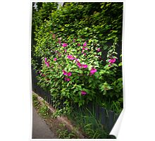 Hollyhock fence  Poster