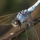 Blue Skimmer Portrait by Teale Britstra