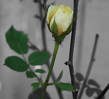 Yellow rose with black and white backround by shadowlens