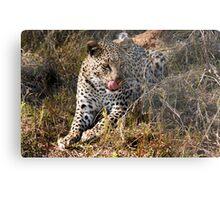 She's so sneaky - Female leopard, Okavango Delta Metal Print