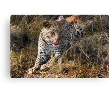 She's so sneaky - Female leopard, Okavango Delta Canvas Print